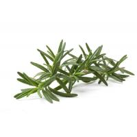 Quality Sedation Organic Rosemary Extract , Natural Rosemary Leaf Extract For Antioxidan for sale