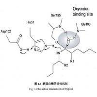 Wholesale 9002-07-7 , Recombinant Trypsin / Amino Acid Sequence Is Identical To Porcine Pancreas-Deri from china suppliers